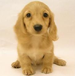 可爱小动物拉布拉多头像图片