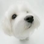 可爱小动物贵宾头像图片