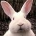 可爱小动物兔子头像图片