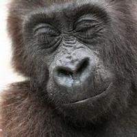 大猩猩搞笑可爱头像图片16