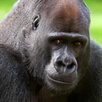 大猩猩搞笑可爱头像图片18