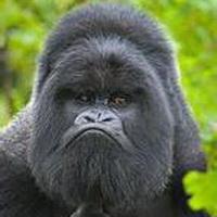 大猩猩搞笑可爱头像图片19