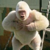 大猩猩搞笑可爱头像图片2