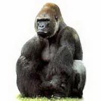 大猩猩搞笑可爱头像图片22