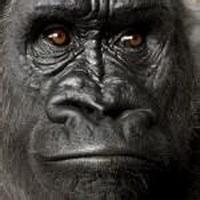 大猩猩搞笑可爱头像图片25