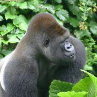 大猩猩搞笑可爱头像图片29