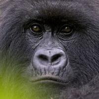 大猩猩搞笑可爱头像图片3