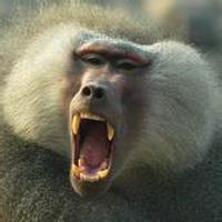 大猩猩搞笑可爱头像图片30