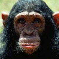 大猩猩搞笑可爱头像图片4