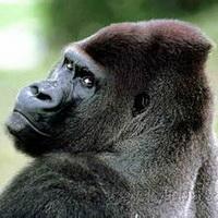 大猩猩搞笑可爱头像图片5