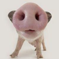 猪鼻子猪鼻孔头像图片10