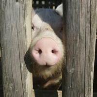 猪鼻子猪鼻孔头像图片30