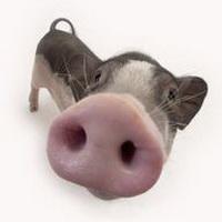 猪鼻子猪鼻孔头像图片8